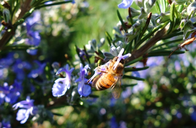 Lavender Bee - Lavender Plant - Honey Bee - Bees and Blossoms - Pollination
