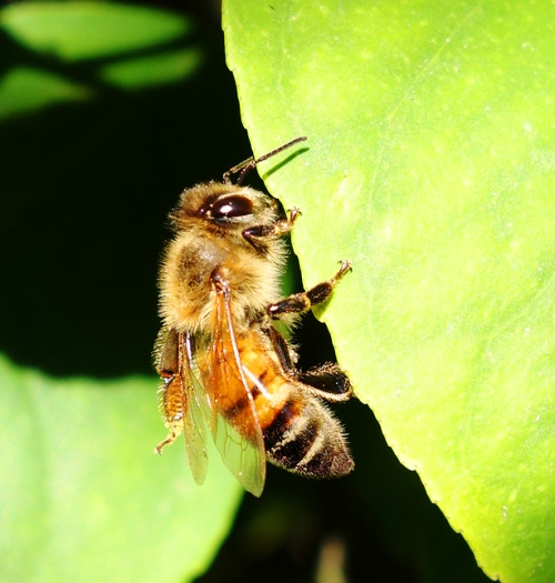 Bee on leaf of Lemon Tree - Lemon - Honey Bee - Bees - Pollination - Nectar