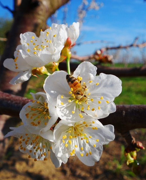 Cherry Blossoms - Central California - Honey Bee - Pollination - Spring Time - Orchards