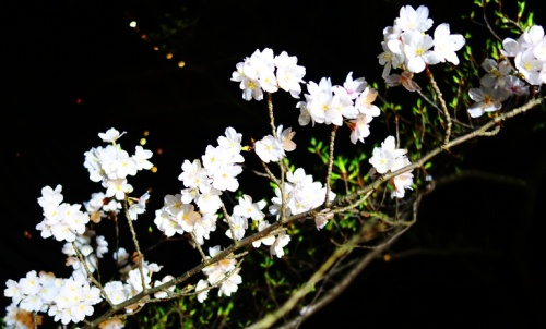 Cherry Blossoms at Night - New Otani Gardens - Tokyo, Japan - Cherry Blossoms