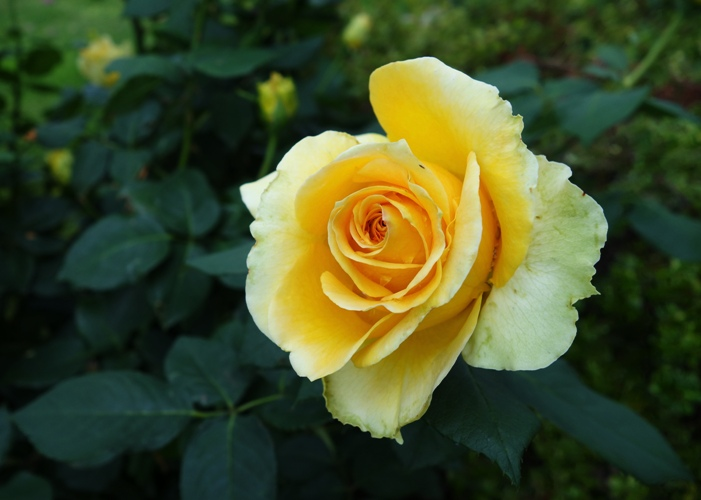 Yellow rose of texas bramans wanderings st patrick rose rose bloom opening march flowers mightylinksfo