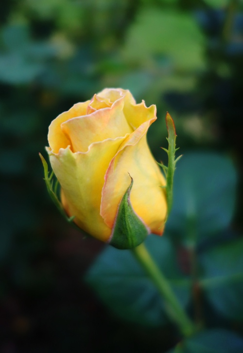 Yellow rose of texas bramans wanderings st patrick rose bud yellow rose spring flowers march roses mightylinksfo