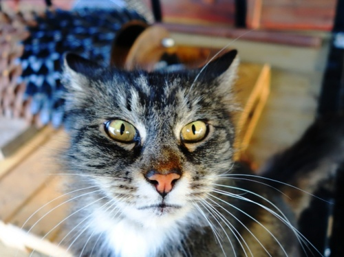 Cat - Feline - Cat Eyes - Tarragon the Cat - Kitty