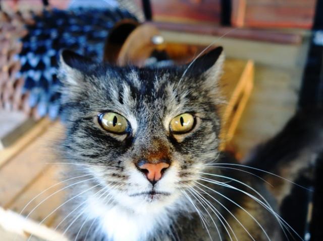 Cat - Feline - Cat Eyes - Tarragon the Cat - Kitty