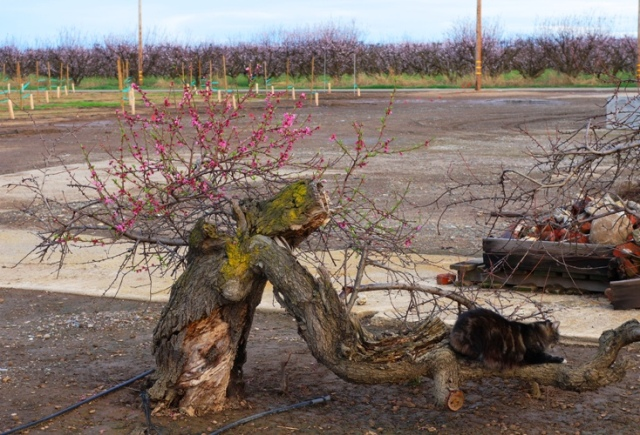 Century Old Peach Tree - Tarragon the Cat - Orchard - Peach Blossoms