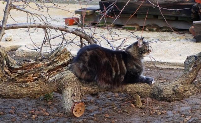 Tarragon the Cat - Peach Tree - Cat in Tree - Old Peach Tree