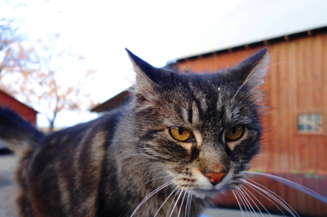 Tarragon the Cat - Barn Cat - Old Barn - White Whiskers