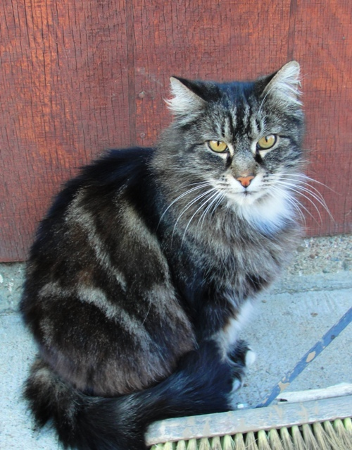 Cat - Barn Cat - Feline - Tarragon - Pretty Cat