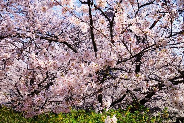 Cherry Blossoms in Tokyo - Japan Cherry Blossoms - Yotsuya Station - New Otani