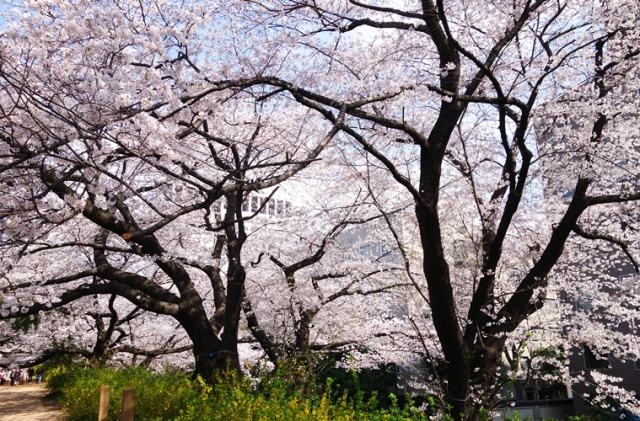 Cherry Blossoms - Tokyo Cherry Blossoms - Old Cherry Trees - Cherry Blossom Time