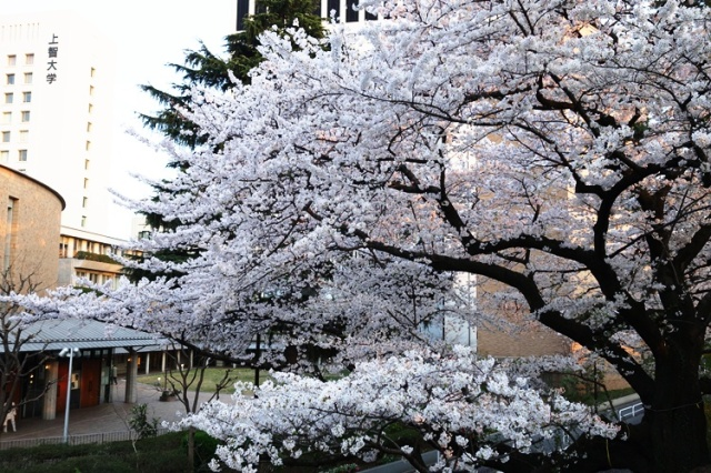 Japanese Cherry Blossoms - Cherry trees blooming - White Blossoms