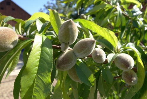 Peach Tree - Immature Peaches - Peaches growing - peach fuz - Orchard