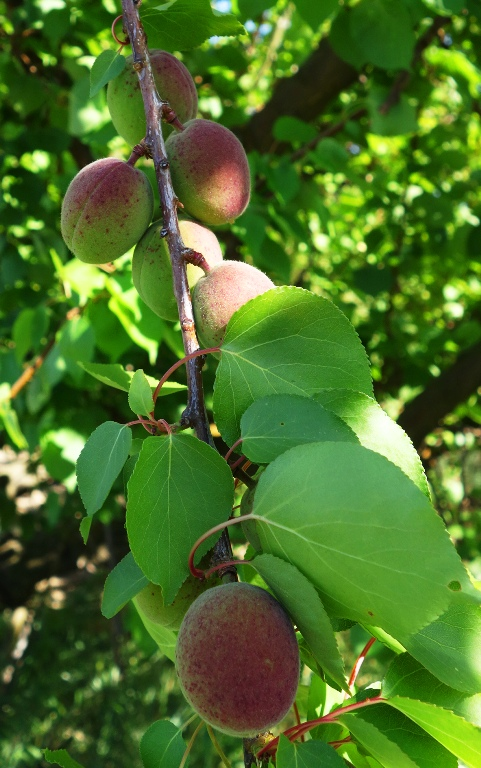 Apricot Tree - Apricot Orchard - Apricots growing - Bees plus blossoms equal fruit