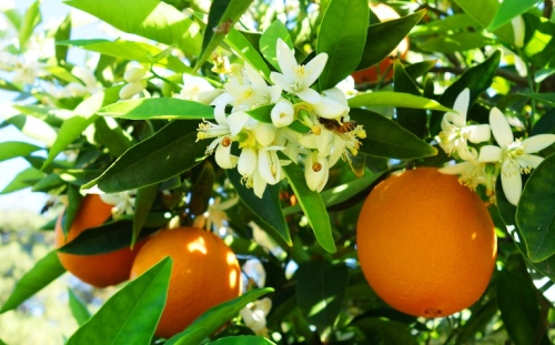 Bees and Blossoms - Orange - Fruit Tree - Honey - Blossoms