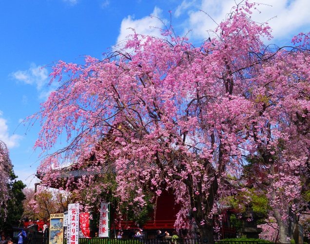 Ueno, Japan - Cherry Blossoms - Japan - Blossoms - Beautiful Cherry Blossoms