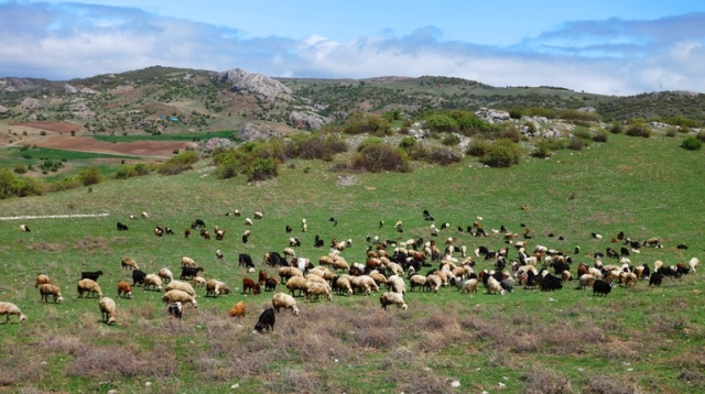 Flock of Sheep, Turkey, Shepherds in the Field, Rod and Staff, Psalm 23