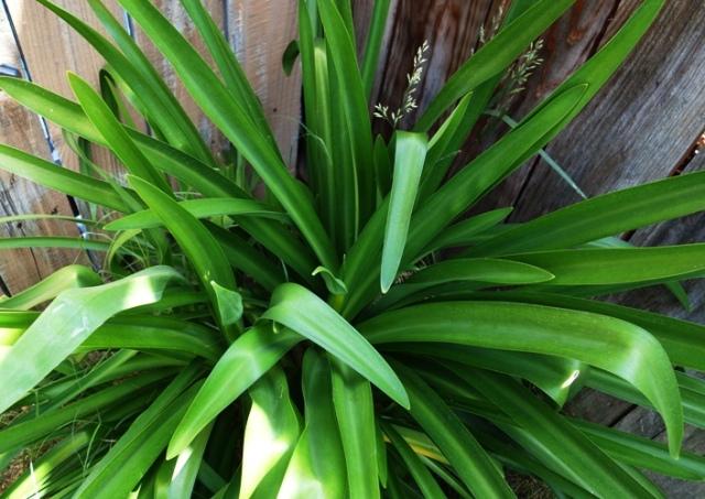 Agapanthus - Blooming Agapanthus - First Blooms