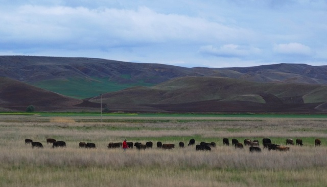 Cattle in Turkey - Cattle herder - Herd of Cattle - Ankara Region