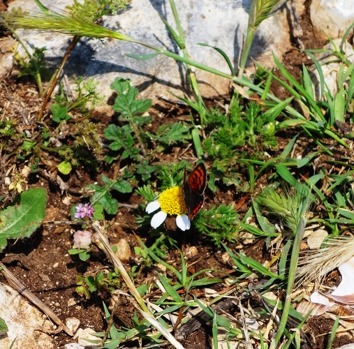 Butterfly on Roman Road - Flora and Fauna - Turkey