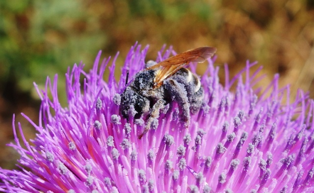 Bee on Thistle - Pollen covered bee - thistle - bee