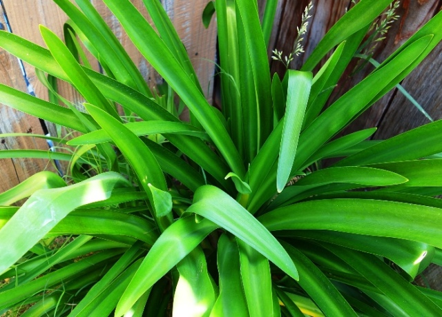 Agapanthus plant, Common Agapanthus, Lily of the Nile, African Lily