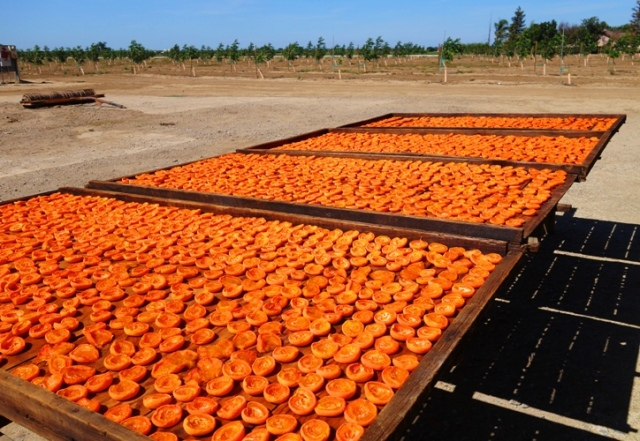 Drying Apricots, Apricot Trays, Air Dried Apricots, Apricot Halves