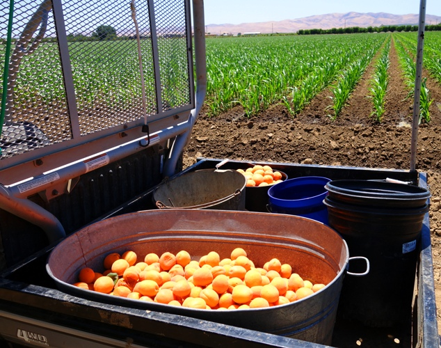 Apricot Harvest, Apricot Picking, Bucket of Apricots
