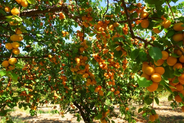 Apricot Orchard, Apricot Trees, Apricots ready for harvest, Patterson, California
