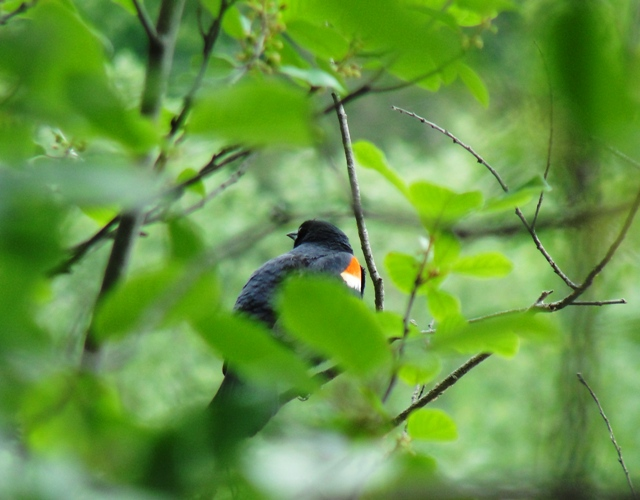 Red-winged Blackbird, Agelaius phoeniceus, Toronto Zoo, Canadian Domain, Passerine