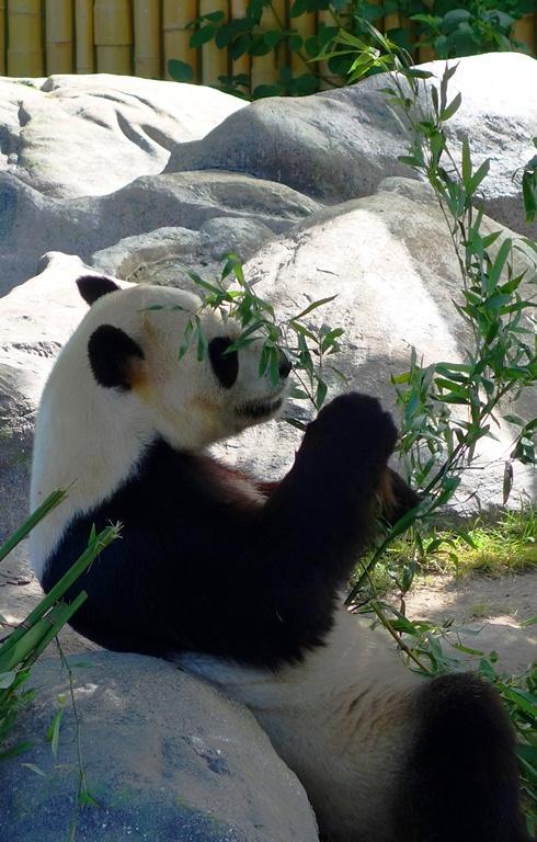 Giant Panda, Bamboo, Er Shun, Toronto Zoo
