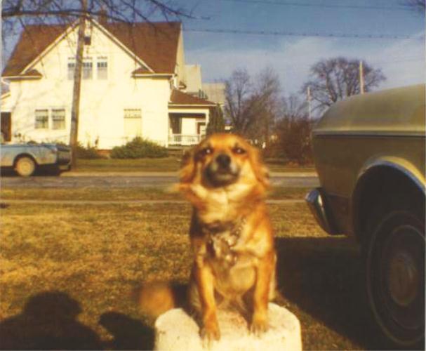 Pat, Long Hair Chihuahua, Family Dog, National Dog Day