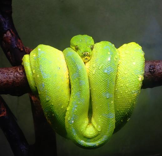 Green Tree Python, Toronto Zoo, Toronto Canada, Tree Snake. Snake closeup