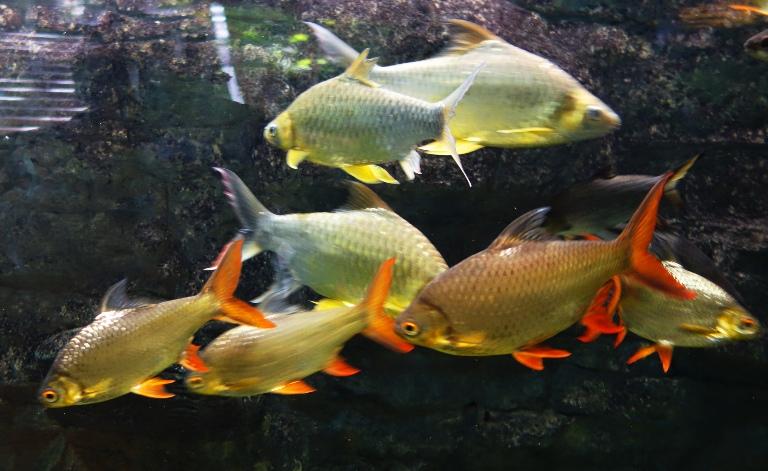 Fish braman 39 s wanderings for Tin foil fish