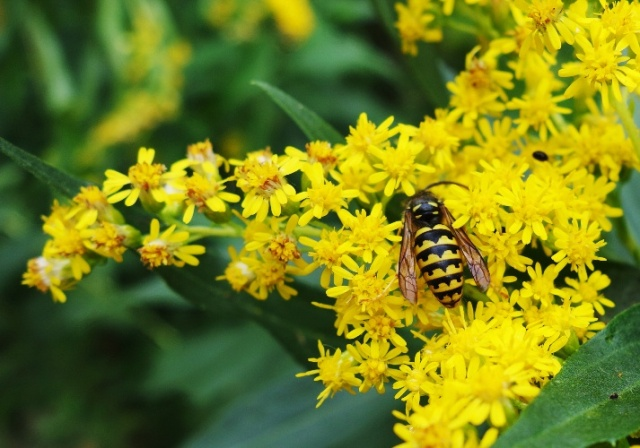 Bee, Yellow Flowers, Flora and Fauna, Toronto, Rowntree Mills Park