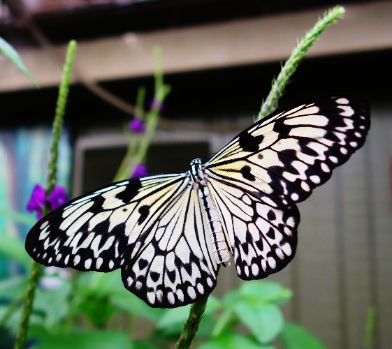 Paper Kite Butterflies, Idea leuconoe, Toronto Zoo, Maylayan Woods Pavilion