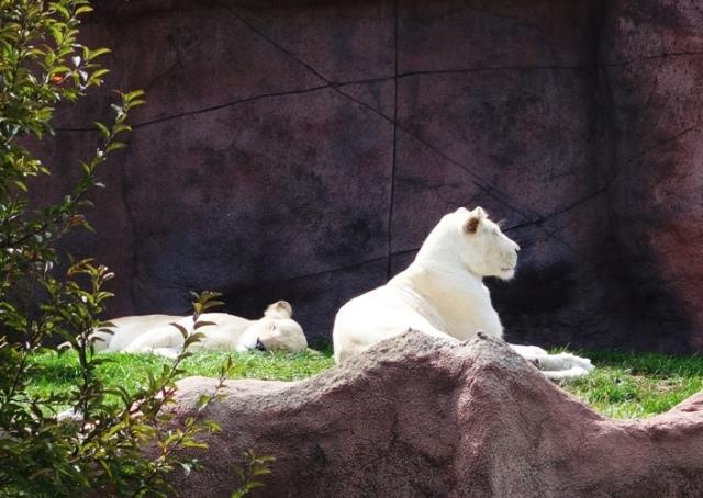White Lions, Toronto Zoo, Panthera leo krugeri, Canada, chutiya gene