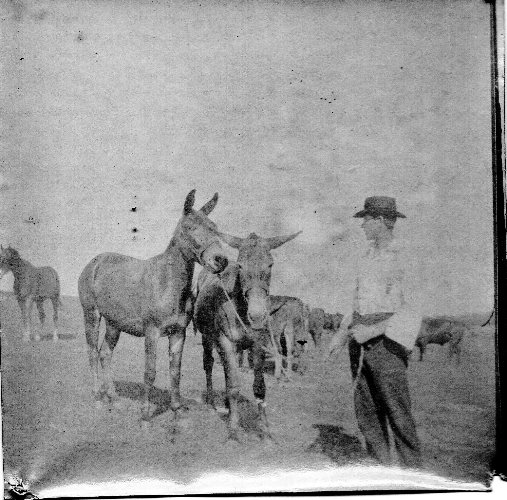 Mules, Iowa Mules, Great Grandfather, 1890's Snapshot, Farm Picture