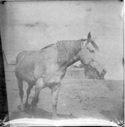Old-Time Photography, 1890's Photos, Picture of Horse, Maude