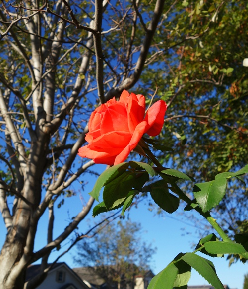 Tropicana Rose, Tall Rose Bush, Beautiful Rose, Rose in Tree