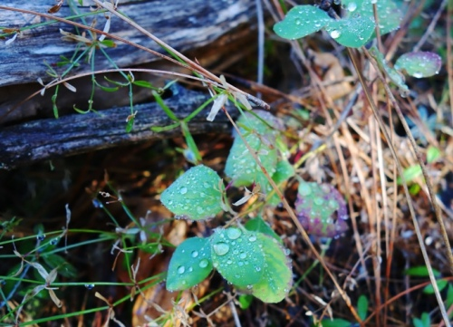 Dew on Leaves, Tuolumne county, Pine Mountain Lake