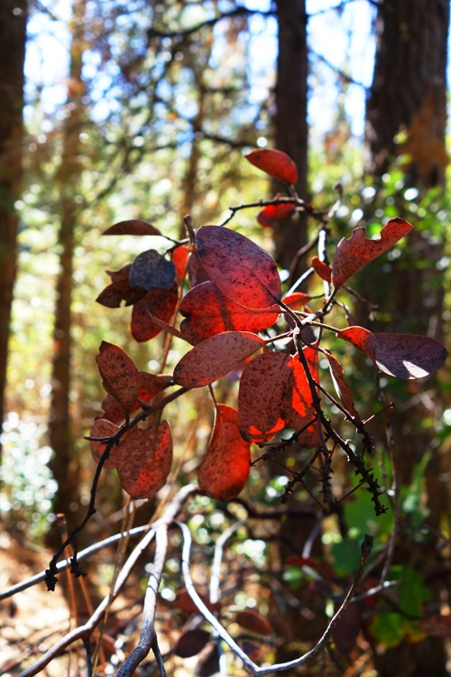 Red Leaves, Tuolumne county, California, Pine Mountain Lake, Forest