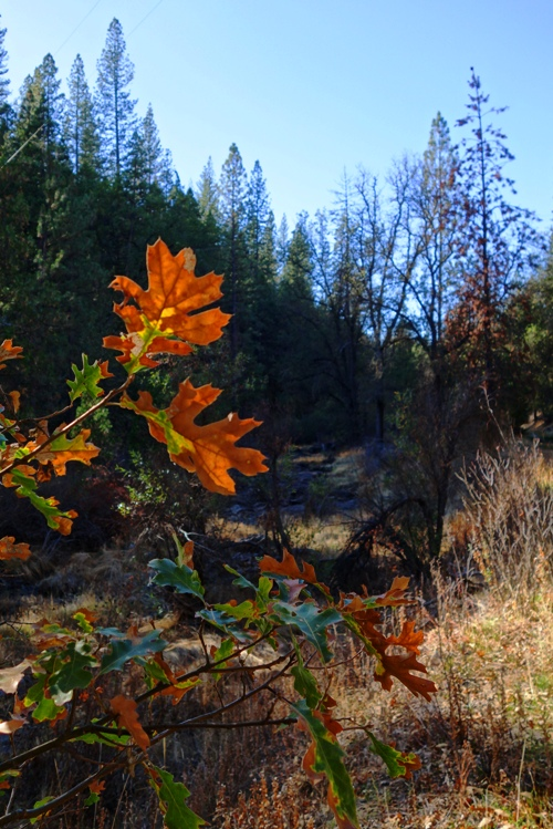 Orange Leaves, Big Oak Flat Creek, Tuolumne Woods, Creek Bed, Colorful Leaves