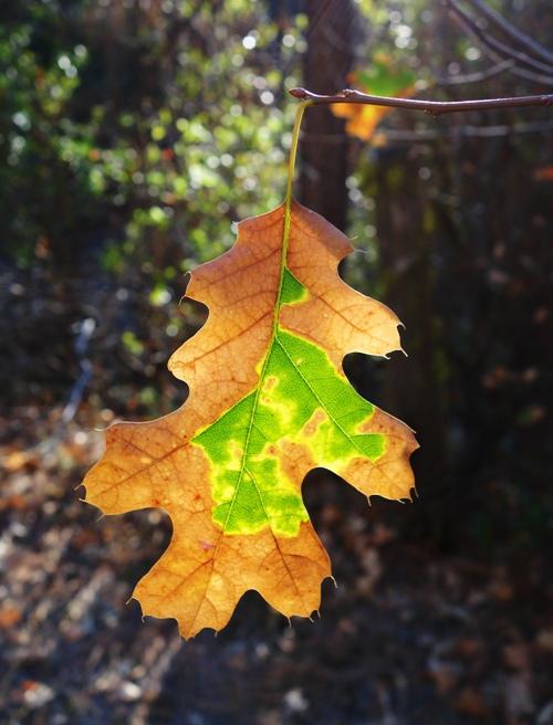 Colorful Leaf, Backlit Leaf, Multi-Color Leaf, Foothills, Fall Color