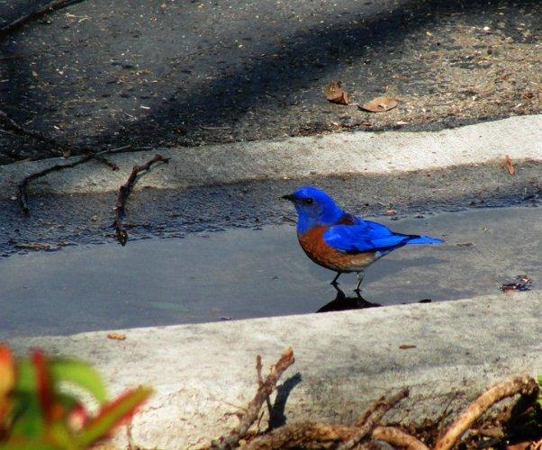 sialia mexicana, Western Bluebird, Winter Storm