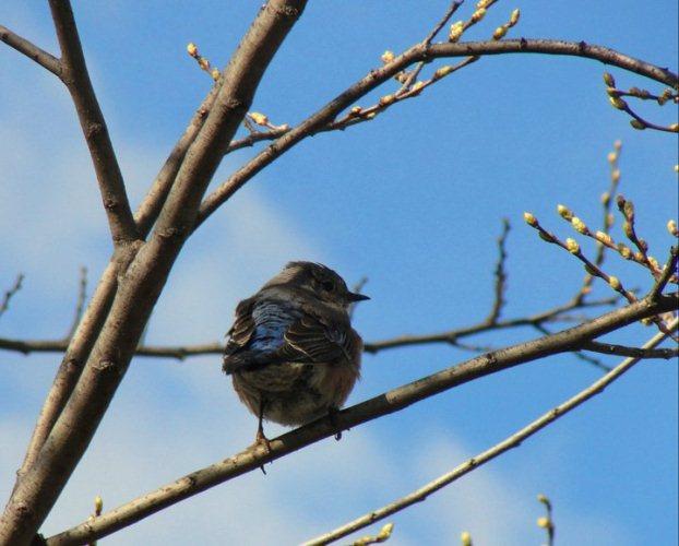 sialia mexicana, western bluebird, birds, thrush
