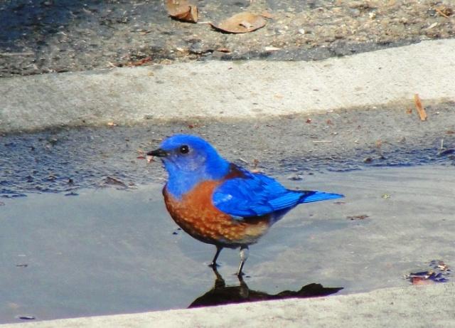 sialia mexicana, western bluebird, bird in puddle