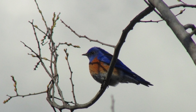 sialia mexicana, western bluebird, bird in tree