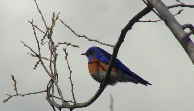 sialia mexicana, western bluebird, bird in tree