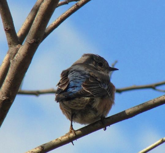 Western Bluebird, Fluffed Feathers, Winter Day