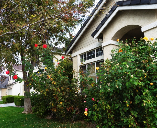 November Roses, Fall Color, Rose Bushes, Tropicana Rose